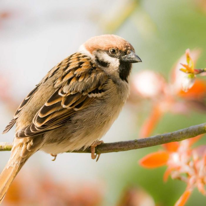 A Modern Love Song Mystery: Sparrows Are Changing Their Tune
