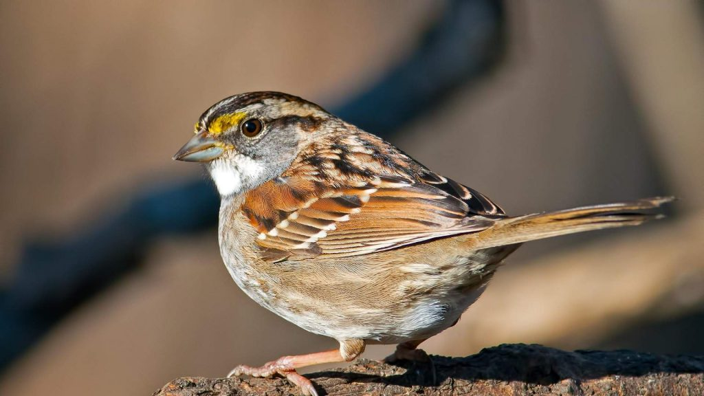 White throated sparrow has changed its tune.