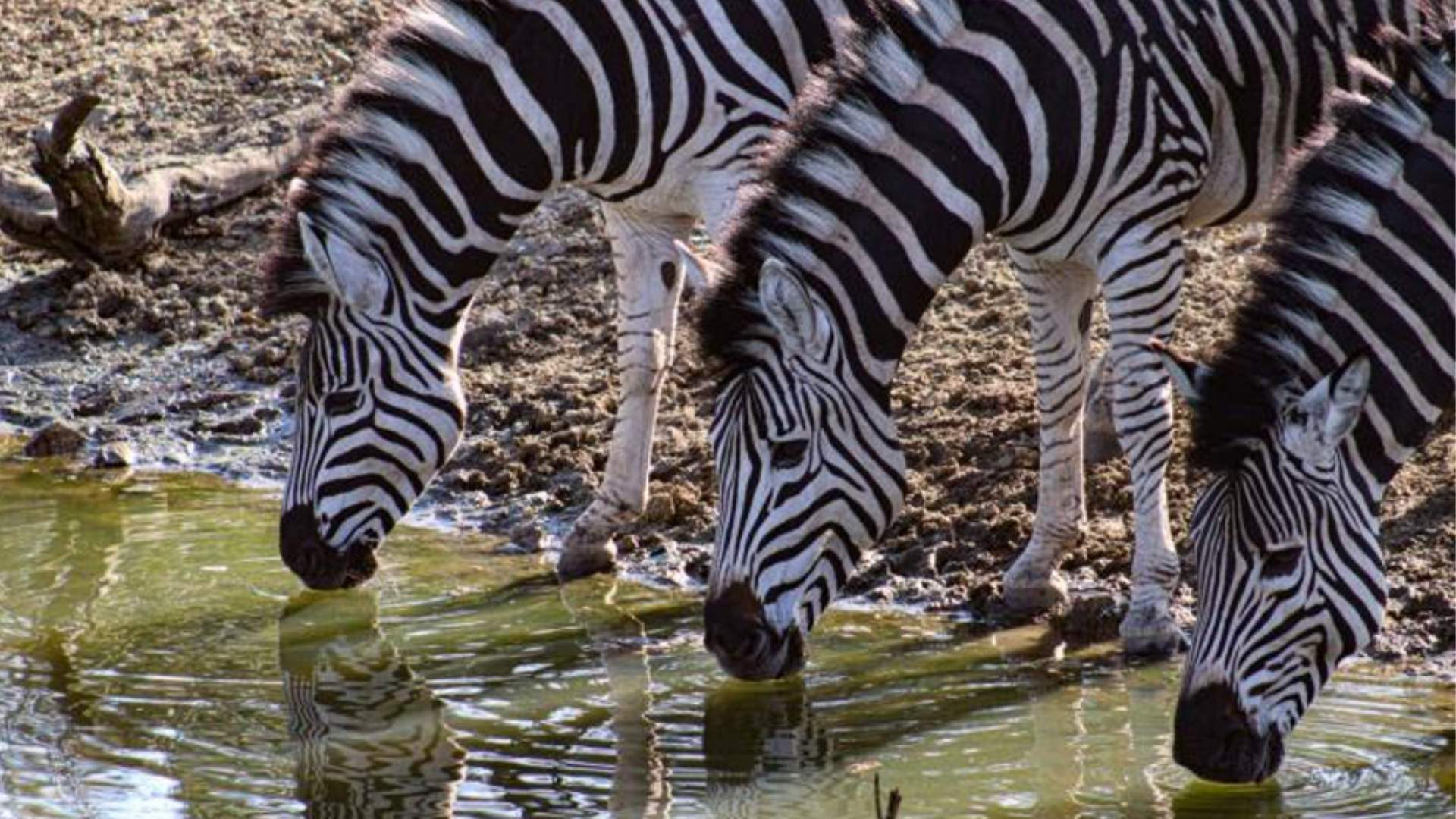 zebras stripes discovery