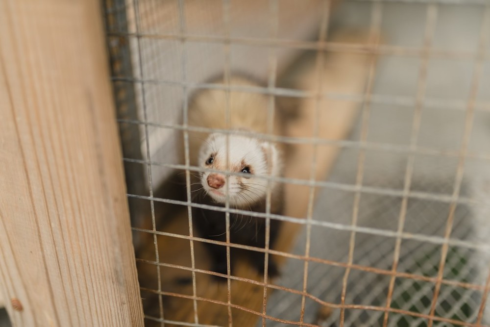 In bed with a ferret