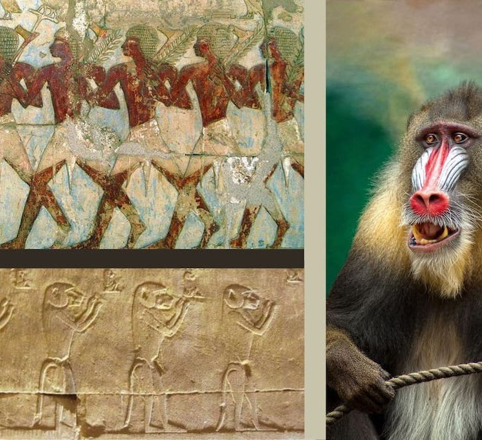 A Mummified Baboon And The Search For The lost Land Of Punt