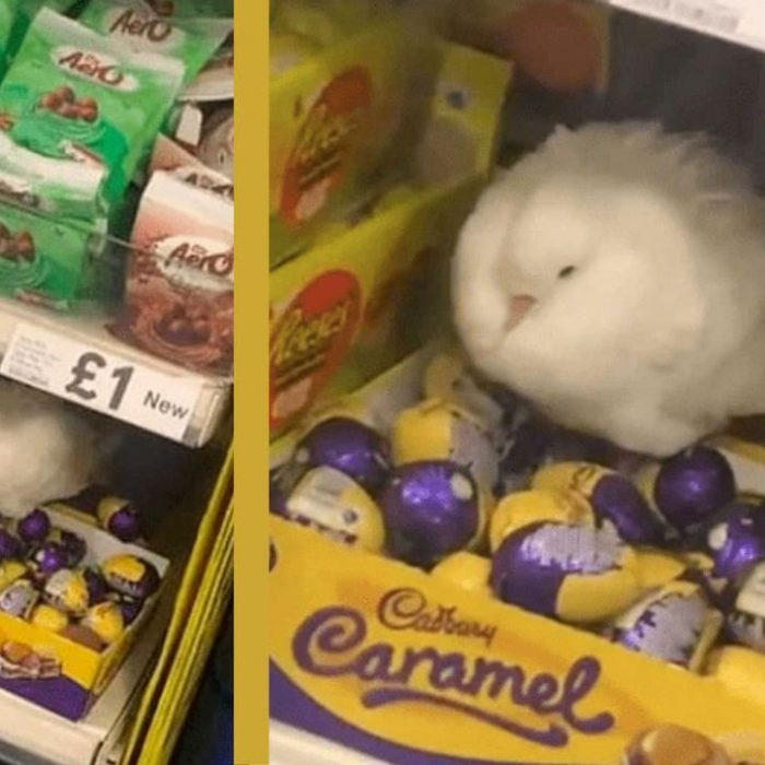 Confused Pigeon Tries To Hatch Chocolate Eggs