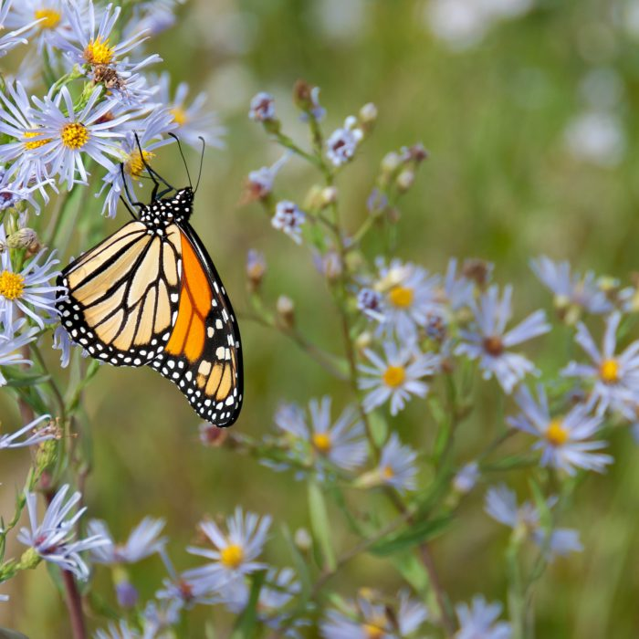 Butterflies Create Jet Propulsion By Clapping Their Wings