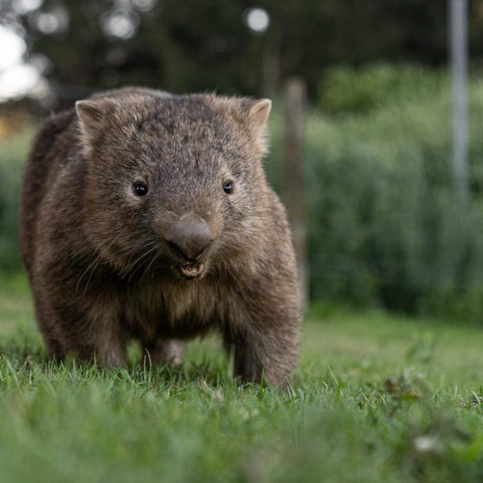Wombat Day: 10 Things You Didn't Know About Wombats