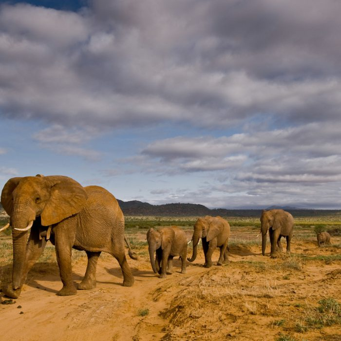 """""""Save The Elephants"""" Mitigates Threats to the African Elephant's Survival"""