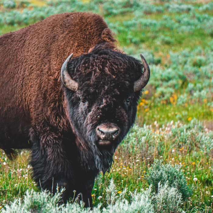 Wanted: Bison Handler In The UK