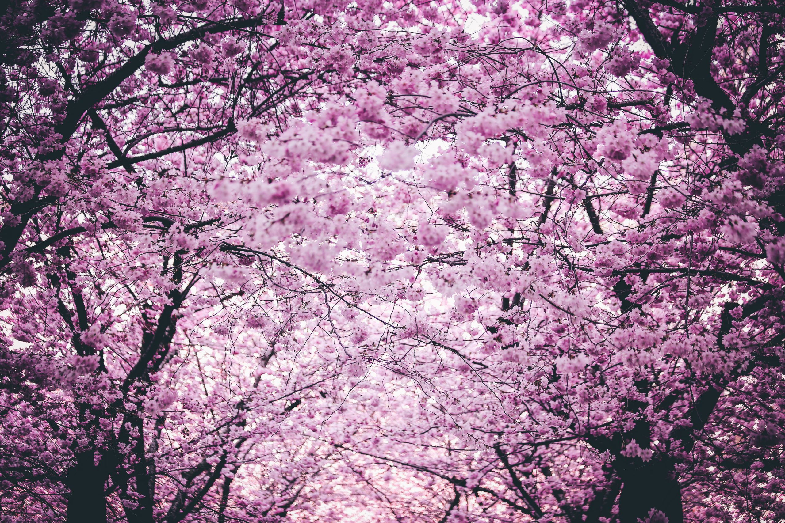 Celebrate Easter With Stunning Cherry Blossom Videos To Enjoy In Your Own Home