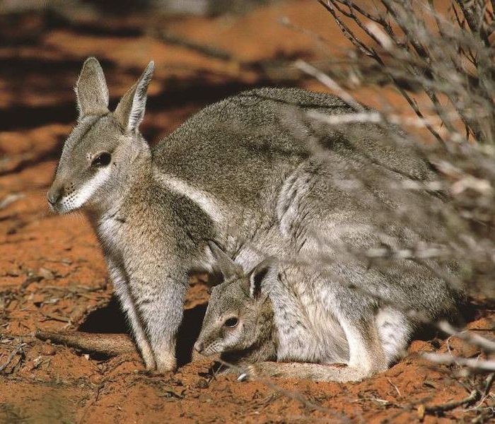 Bouncing Back: Endangered Wallaby Population Escapes Extinction
