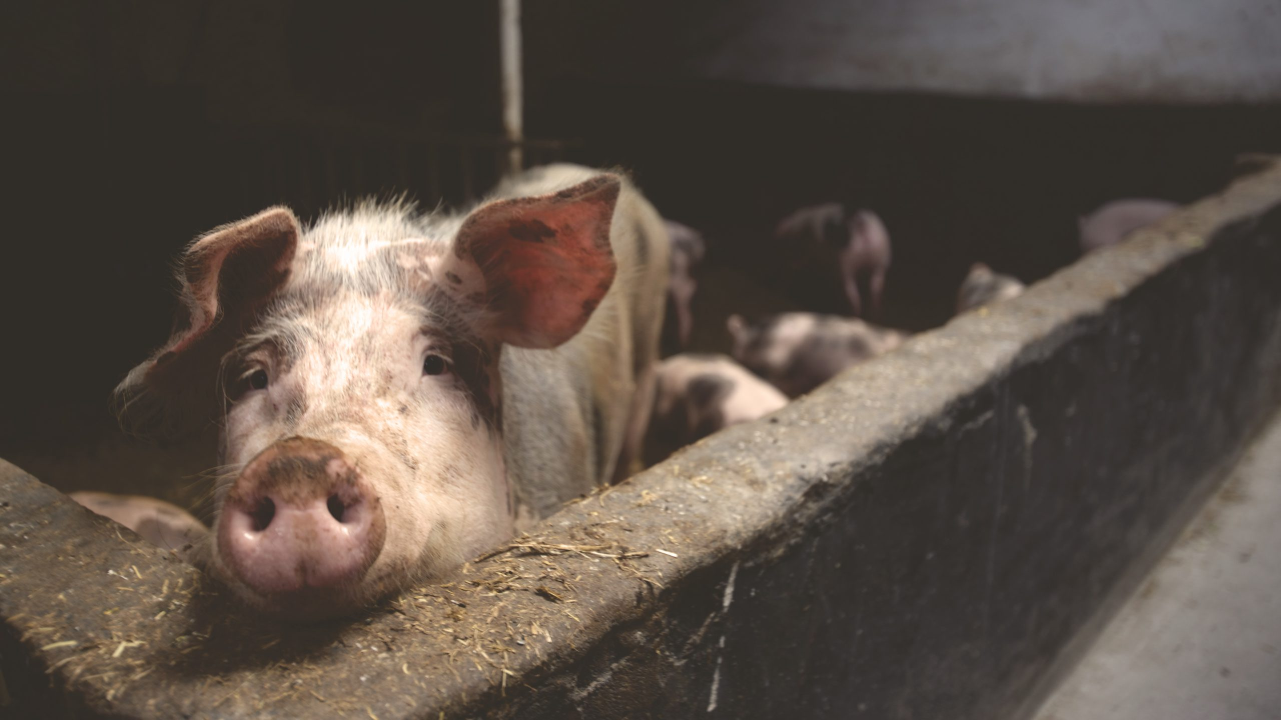Recycled Japanese Liquor Make Pigs Happier, Healthier And Tastier